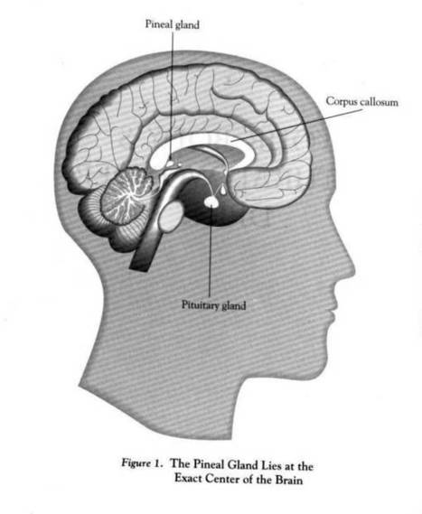 Pineal Gland Structure And Function | Sleep Disorders Advice & Help | Fluoride and pineal gland | Scoop.it