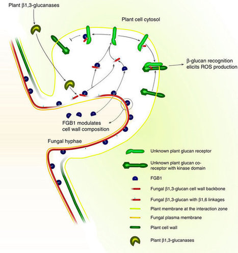The fungal-specific β-glucan-binding lectin FGB1 alters cell-wall composition and suppresses glucan-triggered immunity in plants | Interaction, and more... | Scoop.it