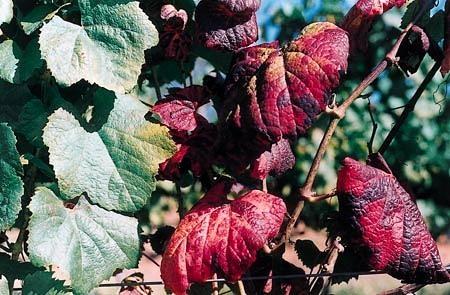 générations-futures » Soutien aux viticulteurs refusant le traitement systématique contre la cicadelle de la flavescence dorée   Intervalles   Scoop.it