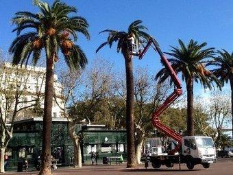 Le charançon rouge continue de grignoter les palmiers   Le charançon rouge du palmier sous surveillance !   Scoop.it