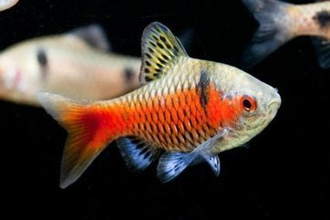 The A-Z of Fish Health, Part 2: F-L | Features | Practical Fishkeeping | Animal Management | Scoop.it