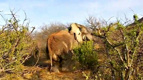 Death-defying elephant recovers from fourth poaching attempt | GarryRogers Biosphere News | Scoop.it