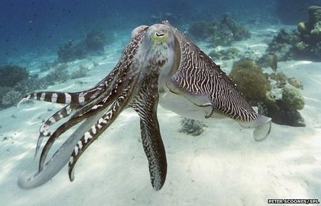 Camouflage Sheet Inspired by Octopus | Biomimicry | Scoop.it