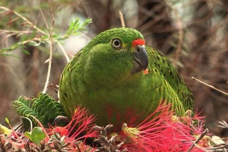 Fears rare WA parrot population devastated by Esperance fires | Mes passions natures | Scoop.it
