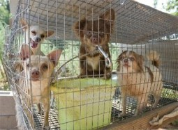 Federal Court Refuses to Block New Texas Puppy Mill Law | Animals R Us | Scoop.it