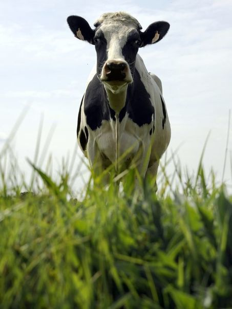 Holy cow! Meat eaters consume 7,000 animals in lifetime | Kickin' Kickers | Scoop.it