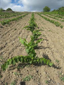 Plantation 2011 - Les journées d'une vigneronne : Annie SAUVAT | Images et infos du monde viticole | Scoop.it