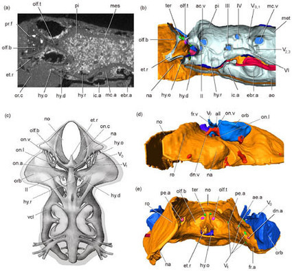 Fossil Evidence Supports Developmental Model for the Origin of the Jaw----Institute of Vertebrate Paleontology and Paleoanthropology, Chinese Academy of Sciences   Anthropology, Archaeology, and History   Scoop.it