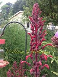 Plants my hummingbirds love | Hummingbirds | Scoop.it