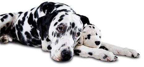 ¿Qué es la pseudogestación canina? | Universo Mascota | Scoop.it