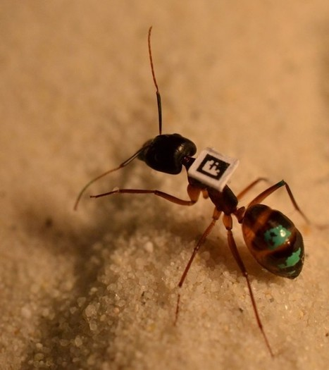 Barcodes let scientists track every ant in an ant colony | Amazing Science | Scoop.it
