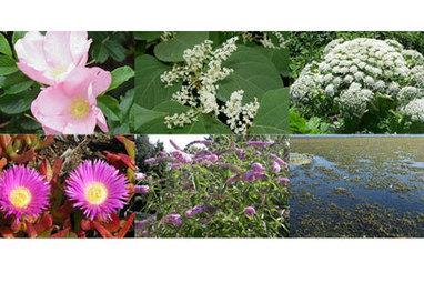 Jardiniers, voici 7 plantes invasives à éviter | Les envahisseurs | Scoop.it