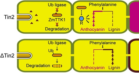 eLife: A secreted Ustilago maydis effector promotes virulence by targeting anthocyanin biosynthesis in maize (2014)   create site to support chrity   Scoop.it