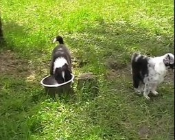 Border collie puppies   How can I do....?   Scoop.it