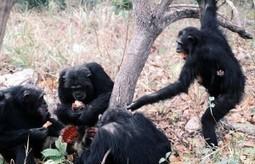 El cruel asesinato que desató la primera guerra entre primates no humanos de la historia | Enseñar Geografía e Historia en Secundaria | Scoop.it