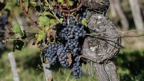 l'Inra de Bordeaux participera aux recherches contre les maladies du bois | Agriculture en Dordogne | Scoop.it