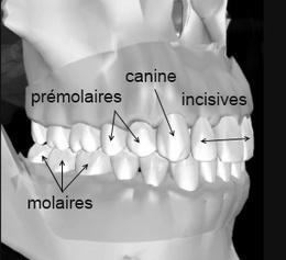 (FR) - Fiche technique glossaire |selarl-cauderan-dentaire.chirurgiens-dentistes.fr | Glossarissimo! | Scoop.it