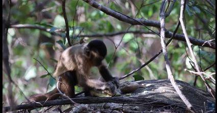 Les capucins du Brésil en sont à l'âge de pierre depuis au moins 700 ans | Aux origines | Scoop.it
