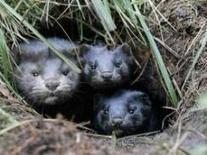 """""""Mink Stolen"""": Animal rights group say it released hundreds of fur-bearing ... - CBS News 