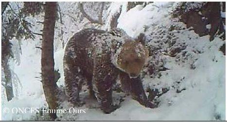 Trombines et généalogie de nos ours pyrénéens - France 3 - 29 novembre 2013 | osos en el Pirineo | Scoop.it