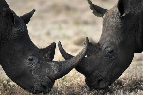 Makers, Drones, and the Future of South Africa's Imperiled Rhinos | Help save our Rhinos | Scoop.it
