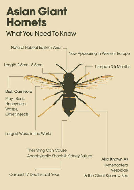 Asian Giant Hornets Infographic   What You Need To Know   pest control   Scoop.it
