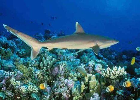 Squali fondamentali per preservare la salute delle barriere coralline - Ecologia.Guidone.it | Green | Scoop.it