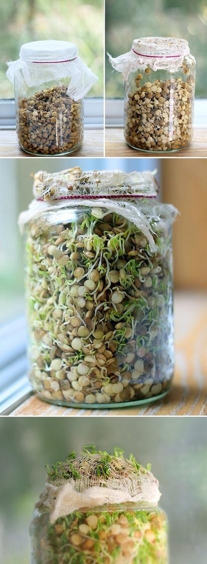 Sprouting Green Lentils | Backyard Gardening | Scoop.it