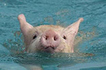42 Pictures Of Pigs Swimming | This Gives Me Hope | Scoop.it