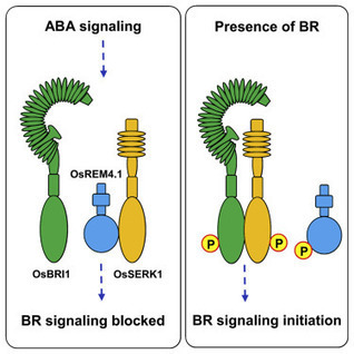OsREM4.1 Interacts with OsSERK1 to Coordinate the Interlinking between Abscisic Acid and Brassinosteroid Signaling in Rice | Rice Blast | Scoop.it