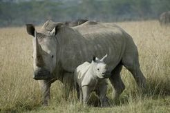 Ex-cop to appear for rhino poaching - Sowetan LIVE | Kruger & African Wildlife | Scoop.it