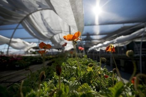 Cold still threatens crops in West but it's easing | Washington (DC) Examiner | CALS in the News | Scoop.it