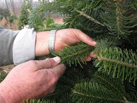 Neither Sprite nor Viagra boost drooping Christmas trees | Christmas Trees and More | Scoop.it