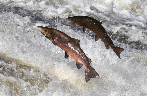 Saumon de Norvège : Un risque important pour la santé selon les autorités - 24matins | Santé : être informé pour mieux s'occuper de soi | Scoop.it