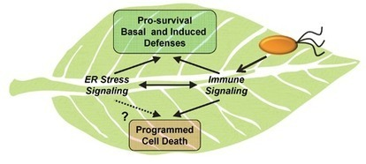 Endoplasmic Reticulum Stress Signaling in Plant Immunity—At the Crossroad of Life and Death   Plant-Microbe Interaction   Scoop.it