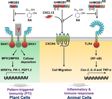 PLOS Pathogens: Activation of Plant Innate Immunity by Extracellular High Mobility Group Box 3 and Its Inhibition by Salicylic Acid (2016) | Plant-Microbe Interaction | Scoop.it