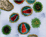 Hunting Fossil Viruses in the Human Genome | Amazing Science | Scoop.it