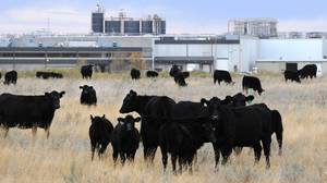Slaughtering 4,000 cows per factory a day, 3,000 steaks a minute? A lot of death | YOUR FOOD, YOUR ENVIRONMENT, YOUR HEALTH: #Biotech #GMOs #Pesticides #Chemicals #FactoryFarms #CAFOs #BigFood | Scoop.it