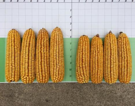 #HeadlineAmp ears on the left. UT on the right. That's what a 23bu advantage looks like! #BASFtweets #harvest2015 | Corn Yield | Scoop.it