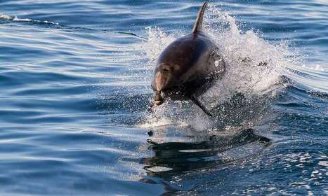 How dolphins listen to their mothers | Oceans and Wildlife | Scoop.it