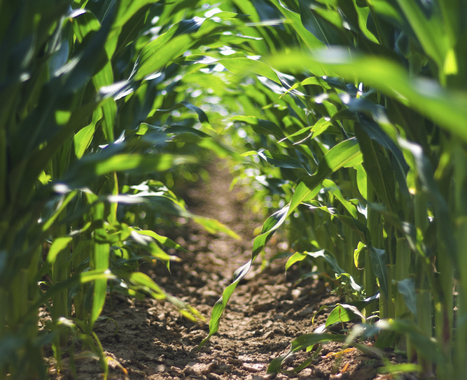 Cornstalks Everywhere But Nothing Else, Not Even A Bee : NPR | Agriculture and the Natural World | Scoop.it