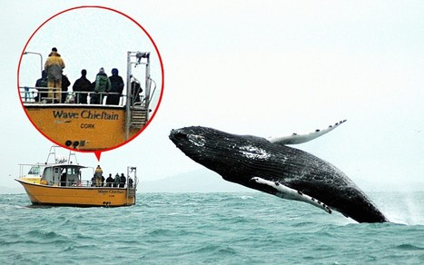 Whale watchers look the wrong way as huge humpback leaps out of ocean | Blue Planet | Scoop.it