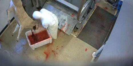 Nouvelles images de maltraitance animale dans deux abattoirs français | Nature Animals humankind | Scoop.it