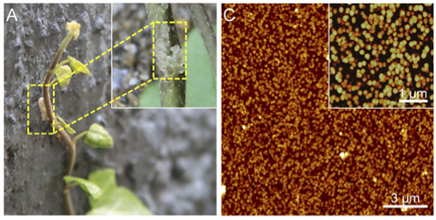 Researchers Uncover the Secret Behind Ivy's Natural Adhesive | Biomimicry | Scoop.it