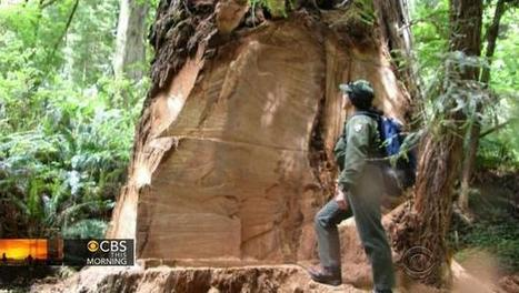 California redwood trees under attack by poachers for black market | current events | Scoop.it