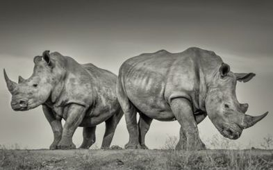 Two rhino poached from Eastern Cape game farm | Help save our Rhino | Scoop.it