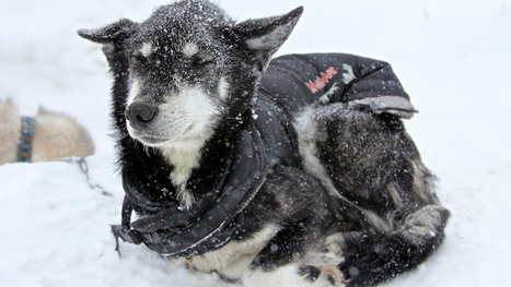 Equip Yourself for the Iditarod | 6th Grade Iditarod | Scoop.it