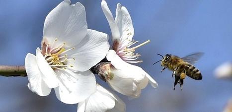 Les abeilles menacées par la production d'amandes en Californie   EntomoNews   Scoop.it