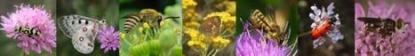 La pollinisation, une histoire de mouche aussi | Le Petit Jardinier Urbain | Scoop.it