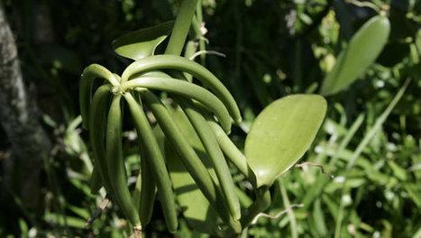 Cargaison de 3588 tonnes de vanille verte saisies à Madagascar | Vanille | Scoop.it